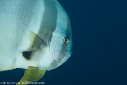 BD-130713-Maldives-0330-Platax-teira-(Forsskål.-1775)-[Longfin-batfish].jpg